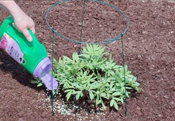 Подкормка пионов органическими удобрениями
