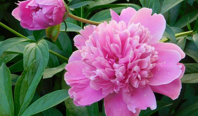 Почему не цветут пионы и что делать сейчас чтобы на следующий год зацвели