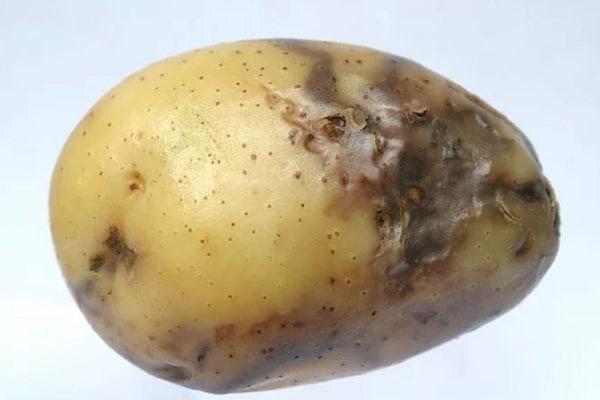 Вредители картофеля и меры борьбы с ними в земле