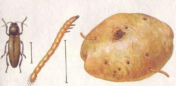 Фото проволочника на картошке