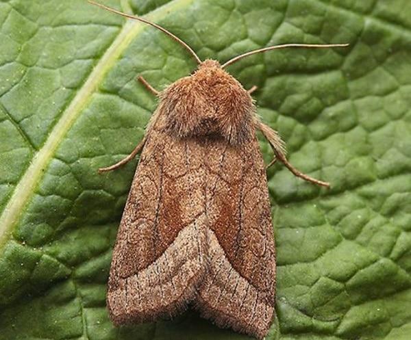 Бабочка картофельной совки
