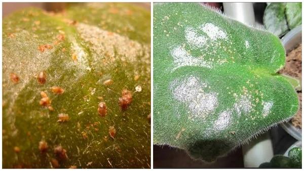 Щитовка на листьях сенполии