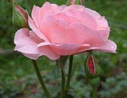 уход за розами садовыми