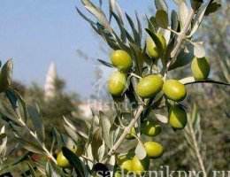 вырастить оливковое дерево