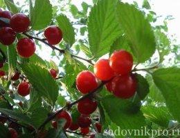 как выращивать вишню