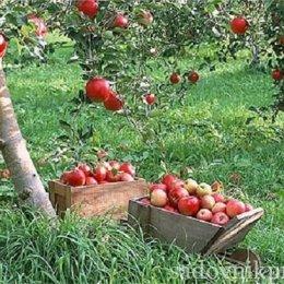 прореживание завязи яблони