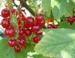 как вырастить красную смородину