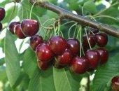 Миниатюра к статье Вишня шоколадница: описание сорта и секреты посадки вишневого дерева