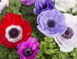 Анемона садовая цветная