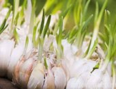 Миниатюра к статье Когда убирать урожай чеснока с грядки
