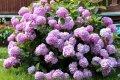 Миниатюра к статье Гортензия виды и сорта для выращивания на даче