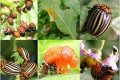 колорадский жук. народные методы борьбы
