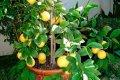 Миниатюра к статье Как вырастить лимон из косточки в домашних условиях