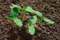 Миниатюра к статье Когда сажать огурцы на рассаду в 2019 году: как правильно выращивать и ухаживать в домашних условиях