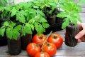 Миниатюра к статье Выращивание рассады томатов в домашних условиях