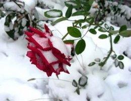 Как правильно подготовить розы к зиме