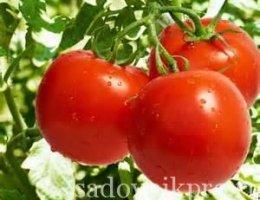 помидоры, уход и посадка