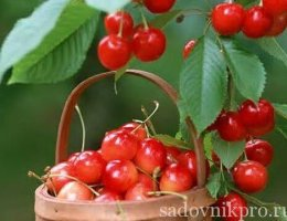 садовая вишня