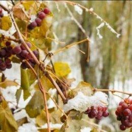 Как укрыть виноград на зиму осенью